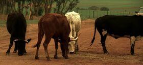7x00 cows