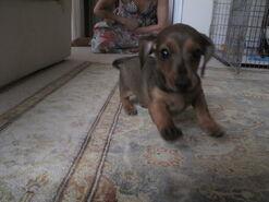 Louis as a puppy