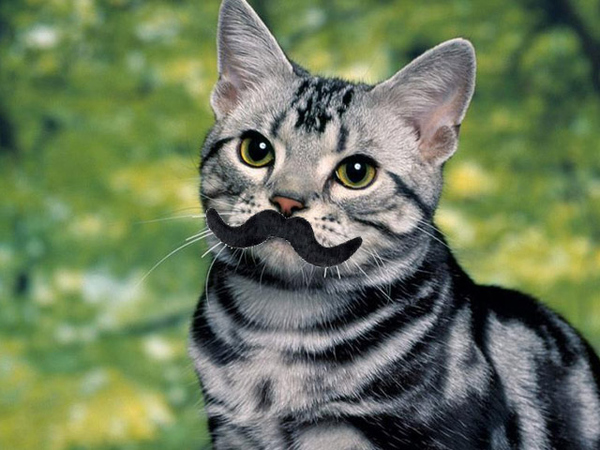 File:Heres-a-cat-with-a-mustache-19594-1313430352-9.jpg