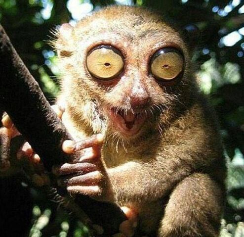 File:Tarsier Eyes - scary - Knuttz.jpg