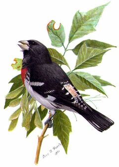 Pheucticus ludovicianusABP04CA.jpg