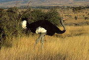 Somali Ostrich 2