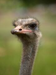 Struthio camelus portrait Whipsnade Zoo.jpg