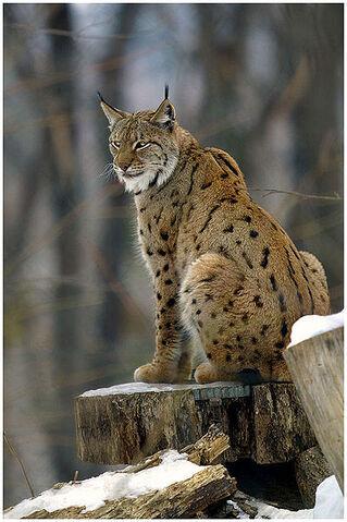File:399px-Lynx lynx2.jpg