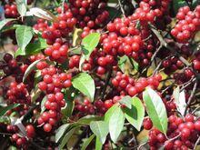 Ripe Autumn Olive