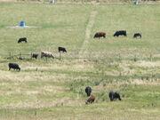 1983DD Douglas County Cattle