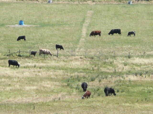 File:1983DD Douglas County Cattle.JPG