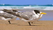 800px-Crested tern444 edit