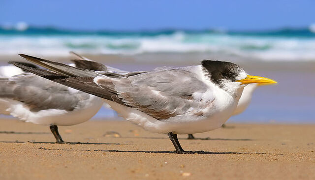 File:800px-Crested tern444 edit.jpg