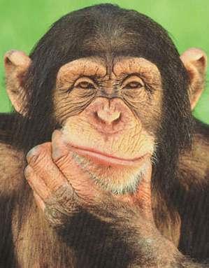 File:Chimpanzee-autonoetic-consciousness.jpg