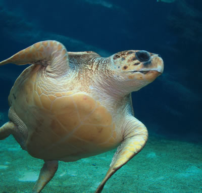 File:Loggerhead Sea Turtle.jpg