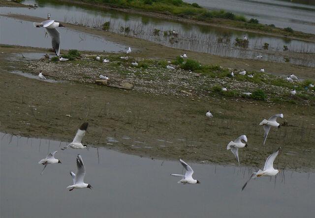 File:Gulls mobbing.jpg