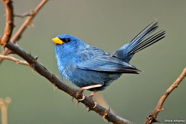 File:Blue-Finch-cipo 8212.jpg
