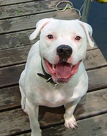 File:220px-American bulldog.jpg