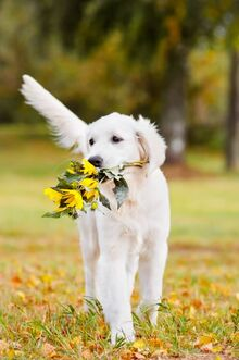 White-Golden-Retriever-Dog-Hold-Flowers-In-Mouth
