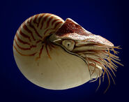 Nautilus-Large