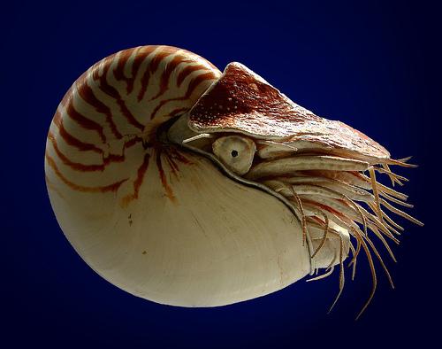 File:Nautilus-Large.jpg