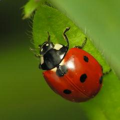 File:Ladybird.jpg
