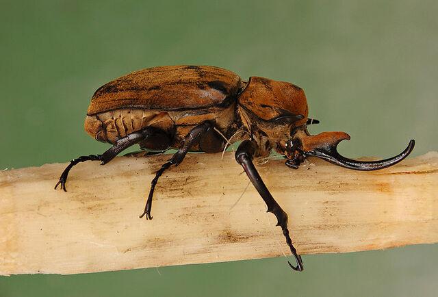 File:800px-Elephant Beetle Megasoma elephas Male Side 2699px.jpg