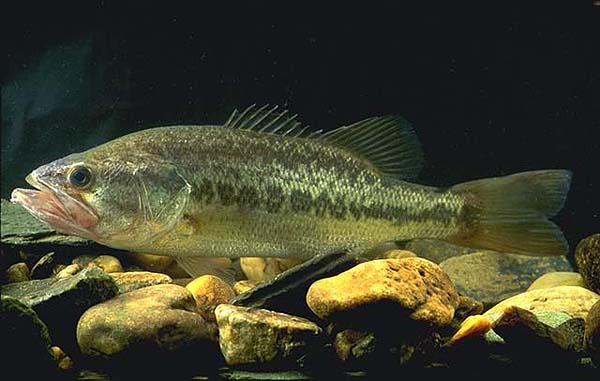 File:Large bass.jpg