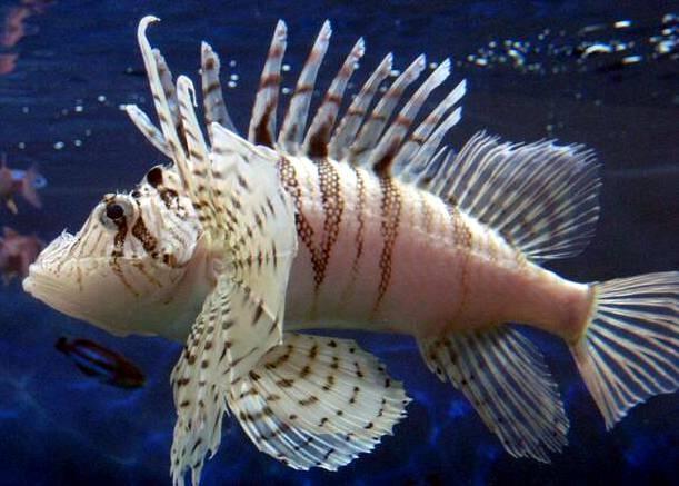 File:Lunalionfish.jpg