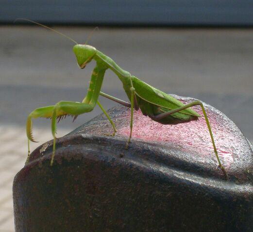 File:Majorca Mantis.jpg