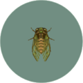 Evening Cicada (City Folk)
