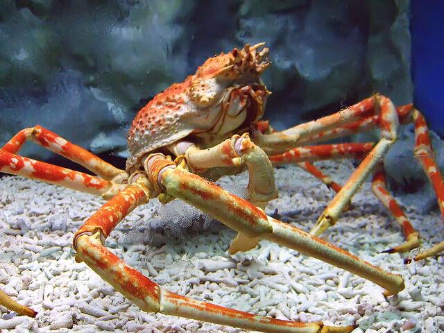 File:Spider Crab.jpg
