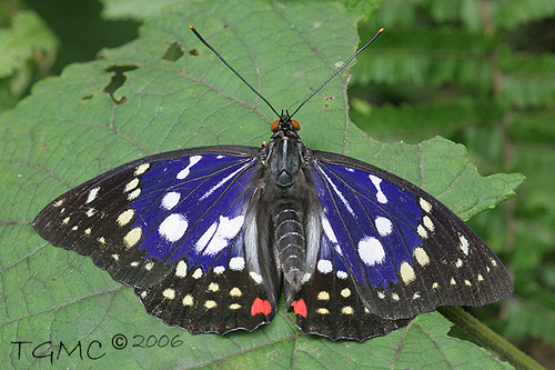 File:Great purple emperor butterfly.jpg