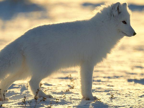 File:Arctic fox.jpg