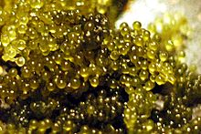 File:Sea grapes.jpg