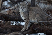 Lynx Rufus bobcat 23 Feb 2011 Yosemite