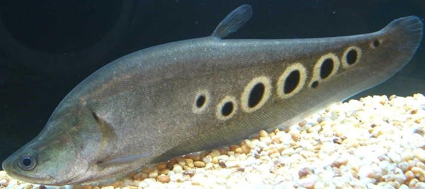 Clown Knifefish | Animal Database | Fandom powered by Wikia