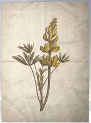 ACS DB Yellow Lupine