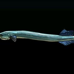 Trumpetfish - Rarity: Common, Size: Medium