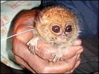 File:1-tarsier-200bn112108.jpg