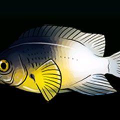 Bi-color Damselfish - Rarity: Rare, Size: Medium
