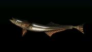 SharksuckerACP