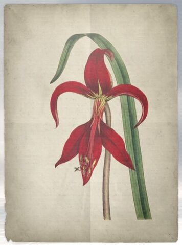 File:ACS DB Amaryllis.jpg