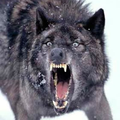 File:Wolf angry.jpg