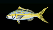 YellowtailSnapperACP
