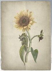 ACS DB Sunflower