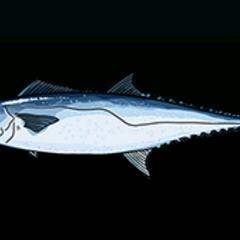 Kingfish - Rarity: Common, Size: Large