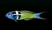 BlueheadWrasseACP