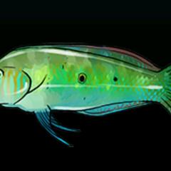Green Razorfish - Rarity: Common, Size: Small
