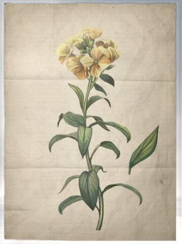 File:ACS DB Wallflower.jpg