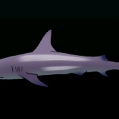 Galapagos Shark - Rarity: Common, Size: Large