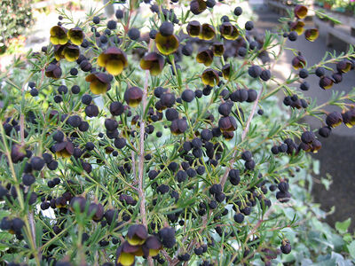Many, many black and yellow flowers on a Boronia megastigma plant (Jack Maguire's Red) .