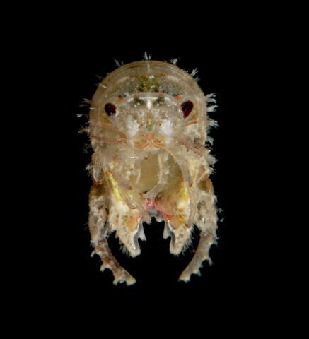 File:Ossian larva.jpg