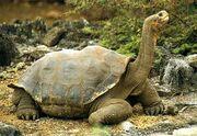 Galapagos-tortoise1
